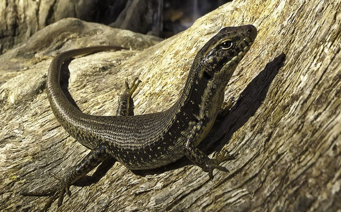Blue Mountain Skink