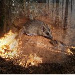 australian-fire-animals-extinction