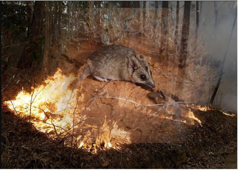 Fires in Australia: 7 animals likely to disappear